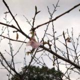 一番「桜」咲きました!