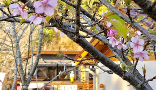 Kannongaike cherry blossom Information(190202)