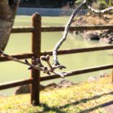 観音ヶ池桜情報(20190309)