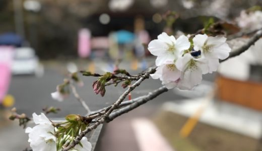 Kannongaike cherry blossom Information(20190325)