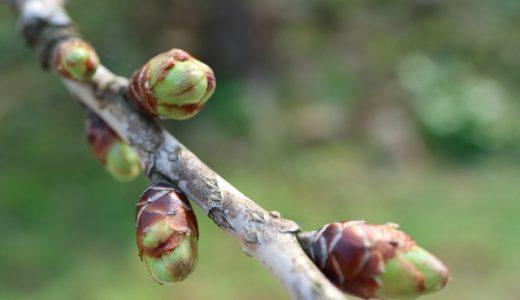 Kannongaike cherry blossom Information(20190317)