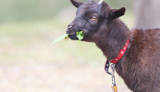 The name of the baby goat has been decided!